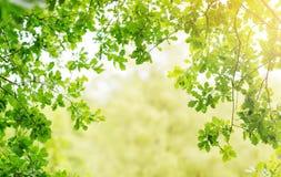 La quercia lascia il fondo nell'estate con bella luce solare immagine stock