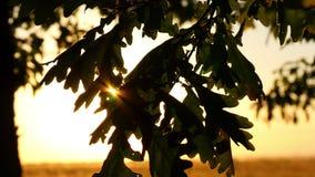 La quercia lascia il primo piano su un albero nella foresta contro un fondo del tramonto I raggi del sole attraversano le foglie  stock footage