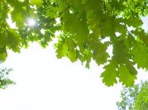 La quercia lascia la scheda di greatings Immagine Stock