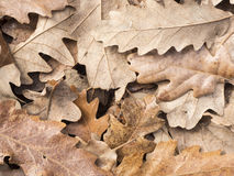 La quercia lascia la struttura Immagini Stock