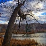 La quercia pendente incornicia una betulla Fotografie Stock