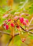 La quercia rossa sfocata lascia a ~ il nuovo sviluppo della sorgente Fotografia Stock