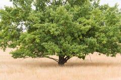 La quercia rovere sta nella brughiera immagini stock libere da diritti