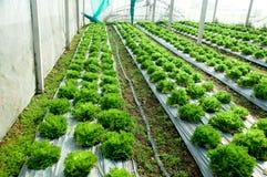La quercia verde Immagine Stock Libera da Diritti