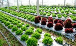 La quercia verde e rossa Immagini Stock