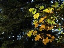La quercia verde lascia il fondo - serie Fotografia Stock