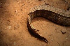 La queue d'un crocodile Photographie stock libre de droits