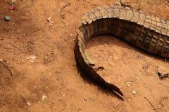 La queue d'un crocodile Photos stock