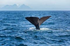 La queue de cachalot dans l'océan Images libres de droits