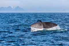 La queue de cachalot dans l'océan Photographie stock libre de droits