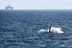 la queue de la baleine Images libres de droits