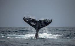 La queue de la baleine de bosse madagascar Île du ` s de St Mary Photo stock