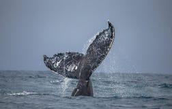La queue de la baleine de bosse madagascar Île du ` s de St Mary Photos libres de droits
