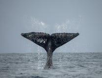 La queue de la baleine de bosse madagascar Île du ` s de St Mary Photos stock