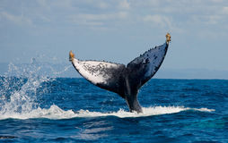 La queue de la baleine de bosse madagascar Île du ` s de St Mary Photographie stock