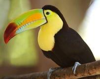 La quilla mandó la cuenta toucan en la ramificación de árbol, Guatemala foto de archivo