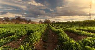 La récolte abondante de laps de temps d'agriculture, système d'irrigation, sillonne le paysage cultivé de champ clips vidéos