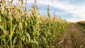 La récolte dans le domaine de maïs Photos libres de droits