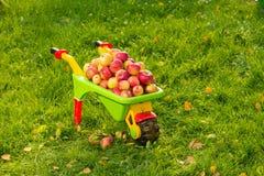 La récolte riche des pommes. Photo stock