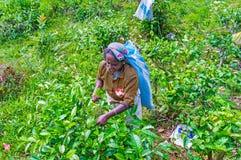 La récolteuse de thé au travail, Demodara Image stock