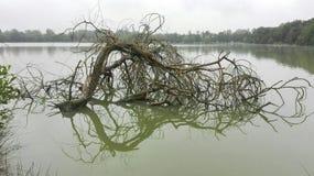 La réflexion de l'arbre mort sur l'eau image libre de droits