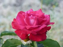 La région de l'Ukraine, Donetsk, Druzhkovka, fleurs de mon jardin, krasnyya a monté, Images stock