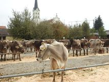 La réunion des vachers Image libre de droits