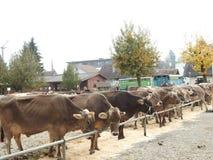 La réunion des vachers Photographie stock libre de droits