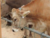 La réunion des vachers Photos stock