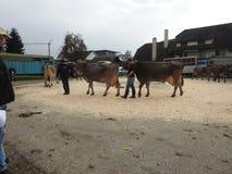 La réunion des vachers Photo libre de droits