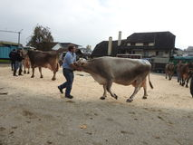 La réunion des vachers Images libres de droits