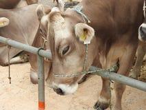 La réunion des vachers Images stock