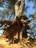 La raíz Fotografía de archivo