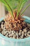 La raíz de la palma Imagen de archivo