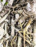 La raíz del árbol Fotografía de archivo libre de regalías
