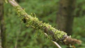 La raíz del árbol cubierta con el primer viejo de la liana de la bobina del musgo empañó textura natural del fondo del bosque Una almacen de video