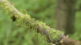 La raíz del árbol cubierta con el primer viejo de la liana de la bobina del musgo empañó textura natural del fondo del bosque Una metrajes