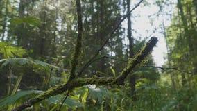 La raíz del árbol cubierta con el primer viejo de la liana de la bobina del musgo empañó textura natural del fondo del bosque Una almacen de metraje de vídeo