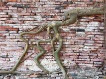 La raíz del árbol cubrió la pared de ladrillo vieja Imágenes de archivo libres de regalías