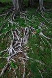 La raíz del árbol en la hierba verde Fotos de archivo libres de regalías
