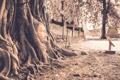 La raíz del baniano Enwrap la cabeza de Buda Fotografía de archivo libre de regalías