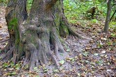 La raíz grande de un árbol en la tierra en un bosque del otoño Fotos de archivo libres de regalías