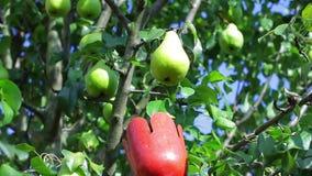 La raccoglitrice della frutta prende la pera archivi video