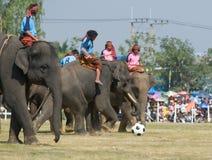 La raccolta annuale dell'elefante in Surin, Tailandia Fotografia Stock Libera da Diritti