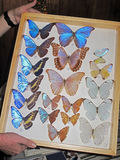La raccolta blu della farfalla di Morpho, didius di morpho, ha presentato nel telaio, Costa Rica Fotografie Stock