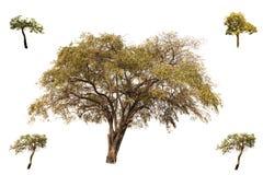 La raccolta degli alberi, della giuggiola indiana e pochi di alberi di Tabebuia Aurea isolati su fondo bianco, sembra fresca e be immagine stock libera da diritti