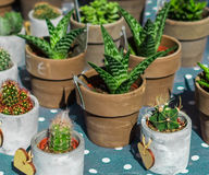 La raccolta dei succulenti e del cactus in piccoli vasi da fiori sulla Polka fa Fotografia Stock Libera da Diritti