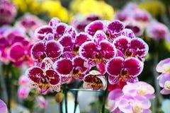 La raccolta del fiore dell'orchidea sulla terra della parte posteriore di verde, fine sull'orchidea fiorisce Fotografia Stock Libera da Diritti