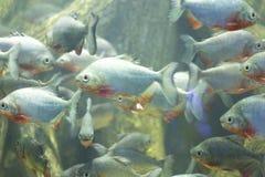 La raccolta del pesce degli ornamenti dell'acquario Immagini Stock Libere da Diritti