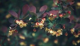 La raccolta dell'ape del miele polen dal fiore Fotografie Stock Libere da Diritti